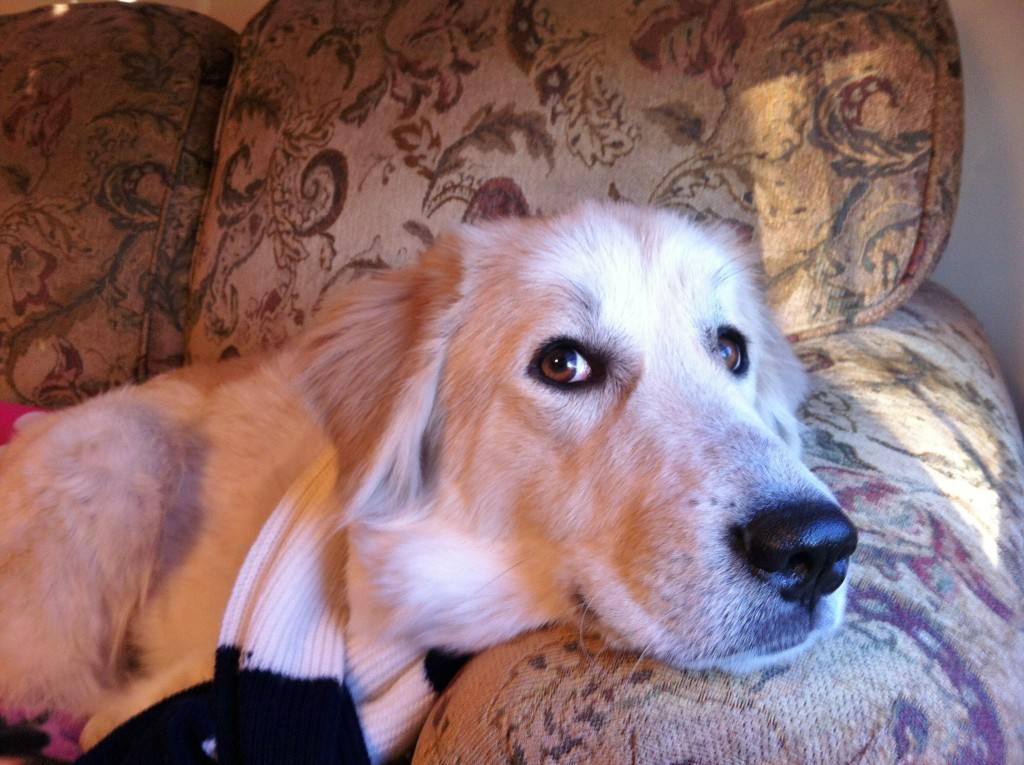 Golden Retriever Rescue Dogs Available For Adoption