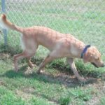 Chessie -- OPPORTUNITY TO FOSTER TO ADOPT
